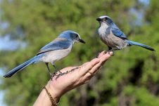 Free Person Holding Two Blue Blue Jay Birds Royalty Free Stock Photography - 115693947