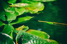 Free Photo Of Frog On Aquatic Plant Royalty Free Stock Photos - 115693948
