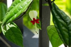 Free White And Red Bleeding Heart Stock Photos - 115694043