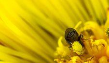 Free Macro Photo Of Bee On Yellow Daisy Royalty Free Stock Image - 115694086