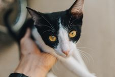 Free Black And White Tabby Cat Royalty Free Stock Photos - 115694098
