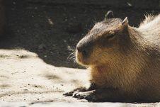 Free Brown Capybara Royalty Free Stock Images - 115694149