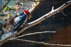 Free Red, White, And Black Bird On Top Tree Branch Stock Photos - 115694153