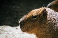 Free Selective Photo Of Brown Capybara Royalty Free Stock Photography - 115694157