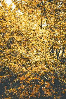 Free Yellow Leaf Tree Under Clear Sky At Daytime Royalty Free Stock Photo - 115694265