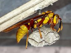 Free Wasp Holding Nest Stock Photo - 115694310