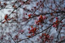 Free Cherry Blossom Royalty Free Stock Photo - 115773635