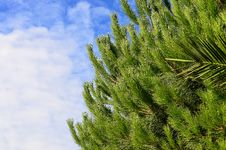 Free Green Pine Tree With Cloudy Sky Background Stock Photo - 115773710