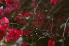 Free Selective Focus Photo Of Red Bougainvillea Royalty Free Stock Images - 115773729