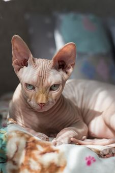 Free Selective Focus Photography Of Sphinx Cat Lying On Bedspread Stock Image - 115773821