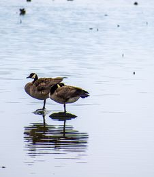 Free Two Brown Geese On Body Of Water Royalty Free Stock Photo - 115773915