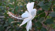 Free White Hibiscus Flower Blooming At Daytime Stock Photography - 115773992