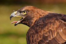 Free Bird, Beak, Eagle, Bird Of Prey Stock Images - 115805174