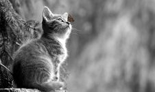 Free Cat, Black And White, Whiskers, Fauna Stock Photography - 115805262
