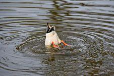 Free Bird, Water, Duck, Water Bird Stock Photos - 115805443