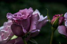 Free Flower, Rose Family, Rose, Purple Royalty Free Stock Photos - 115805928
