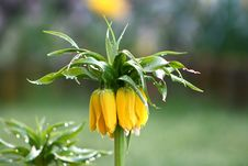 Free Flower, Plant, Fritillaria, Crown Imperial Royalty Free Stock Image - 115806086
