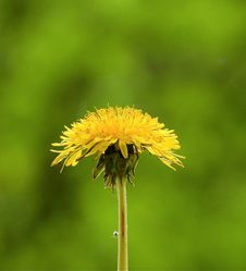 Free Flower, Dandelion, Sow Thistles, Flora Stock Photography - 115806122