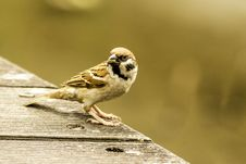 Free Bird, Sparrow, House Sparrow, Fauna Stock Photography - 115806252