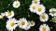 Free Flower, Oxeye Daisy, Daisy, Daisy Family Royalty Free Stock Image - 115806336