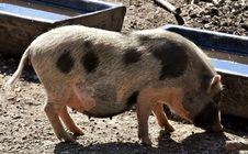 Free Pig Like Mammal, Pig, Domestic Pig, Fauna Royalty Free Stock Photography - 115806487