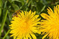 Free Honey Bee, Bee, Flower, Yellow Stock Photo - 115806490