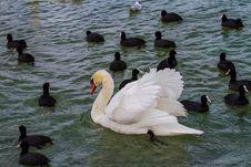 Free Bird, Water, Water Bird, Duck Stock Photography - 115806782