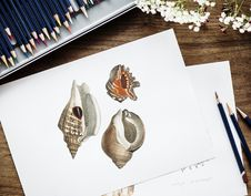 Free Brown And Red Conch Shell Drawing On White Paper Beside Three Pencils Royalty Free Stock Image - 115844216