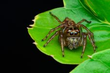 Free Brown Jumping Spider On Green Leaf Plant Royalty Free Stock Photography - 115844227