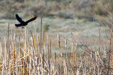 Free Black Bird On Brown Grass Royalty Free Stock Photos - 115844248