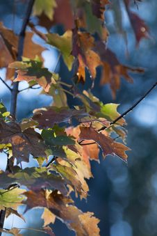 Free Brown And Green Maple Tree Leaves Royalty Free Stock Images - 115844289