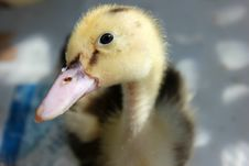 Free Close Up Photography Of Yellow And Black Duckling Royalty Free Stock Photo - 115844295
