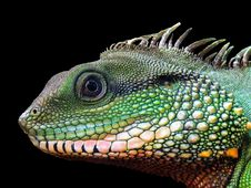 Free Reptile, Scaled Reptile, Fauna, Iguana Royalty Free Stock Photography - 115876367