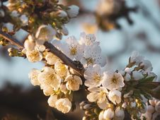 Free Blossom, Spring, Cherry Blossom, Branch Royalty Free Stock Photography - 115876657