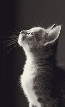 Free Cat, Whiskers, Black And White, Monochrome Photography Royalty Free Stock Image - 115876676