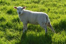 Free Grassland, Sheep, Pasture, Grazing Royalty Free Stock Photos - 115876778