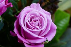Free Flower, Rose, Rose Family, Pink Stock Photo - 115876830