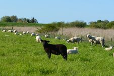 Free Pasture, Grassland, Grazing, Goats Royalty Free Stock Images - 115876939