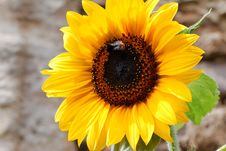 Free Flower, Sunflower, Yellow, Sunflower Seed Stock Image - 115877391