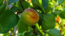 Free Fruit, Fruit Tree, Branch, Peach Stock Photography - 115877622