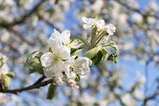 Free Blossom, Spring, Branch, Cherry Blossom Stock Image - 115877831