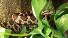 Free Snake, Reptile, Scaled Reptile, Terrestrial Animal Royalty Free Stock Photos - 115877848