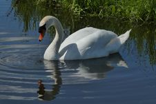 Free Swan, Bird, Water Bird, Reflection Royalty Free Stock Image - 115877936