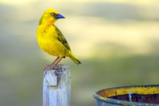 Free Focal Focus Photography Of Perching Yellow And Blue Short-beak Bird Royalty Free Stock Image - 115913636