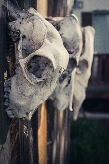 Free Three Gray Animal Skulls Royalty Free Stock Photo - 115913665