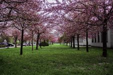Free Pink Leafed Trees On Green Grass Field Royalty Free Stock Photography - 115913667