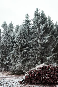 Free Snow Covered Pine Trees Royalty Free Stock Photos - 115913728