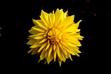 Free Close Up Photo Of Yellow Clustered Flower Royalty Free Stock Image - 115913796
