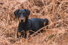 Free Short-coated Black And Brown Dog On Brown Grass Field Royalty Free Stock Photography - 115913847