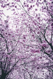 Free Cherry Blossom Trees Stock Photography - 115913892